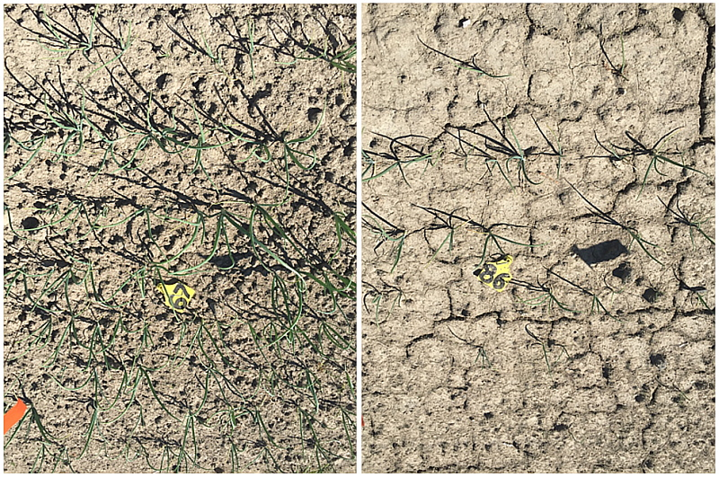 The lasting effect of a heavy (artificial) rain event pre-emergence (right panel) shows low population and poor growth compared to areas without heavy rain (left panel)
