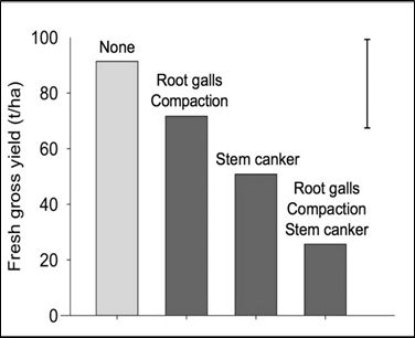 Figure 1 Final yields from groups of individual plants that were: both healthy and growing in compaction-free soils (yellow bar); had soil compaction together with Spongospora (root galls); had severe Rhizoctonia stem canker; had both diseases and were growing in compacted soils